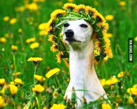 girls_at_music_festivals_hippie_dog